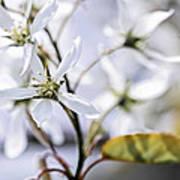 Gentle White Spring Flowers Print by Elena Elisseeva