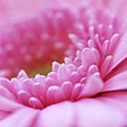 Gerbera Daisy Flower - Pink Print by Natalie Kinnear