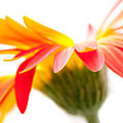 Gerbera Mix Crazy Flower - Orange Yellow Print by Natalie Kinnear