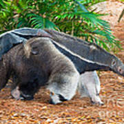 Giant Anteater Mother And Baby Print by Millard H. Sharp