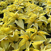 Golden Poinsettias Print by Catherine Sherman