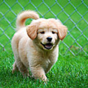 Golden Retriever Puppy Print by Christina Rollo