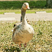 Goose Goose Print by Artist and Photographer Laura Wrede