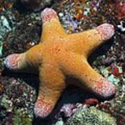 Granulated Seastar Print by Science Photo Library