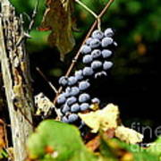 Grape Harvest Print by Neal  Eslinger