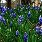 Grape Hyacinths Print by Julie Dant