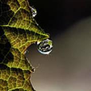 Grape Leaf With Rain Drop Print by Cindi Ressler