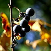 Grapes On The Vine No.2 Print by Neal  Eslinger