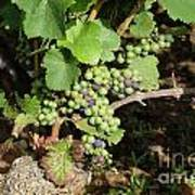 Grapevine. Burgundy. France. Europe Print by Bernard Jaubert