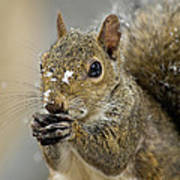 Gray Squirrel - D008392  Print by Daniel Dempster