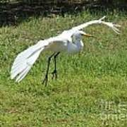 Great Egret Landing Print by Theresa Willingham
