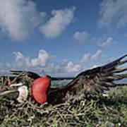 Great Frigatebird Female Eyes Courting Print by Tui De Roy