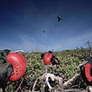 Great Frigatebird Males In Courtship Print by Tui De Roy