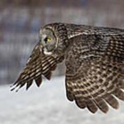 Great Grey Owl In Flight Print by Jakub Sisak
