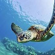 Green Sea Turtle - Maui Print by M Swiet Productions