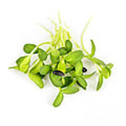 Green Sunflower Sprouts Print by Elena Elisseeva