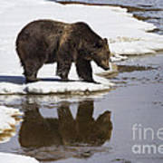 Grizzly Bear Reflected In Water Print by Mike Cavaroc