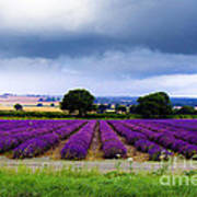 Hampshire Lavender Field Print by Terri Waters