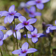 Happy Tiny Bluet Wildflowers Print by Kathy Clark