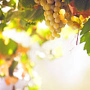 Harvest Time. Sunny Grapes I Print by Jenny Rainbow
