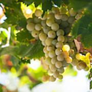 Harvest Time. Sunny Grapes Iv Print by Jenny Rainbow