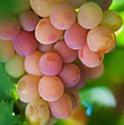 Harvest Time. Sunny Grapes Print by Jenny Rainbow