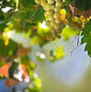 Harvest Time. Sunny Grapes V Print by Jenny Rainbow