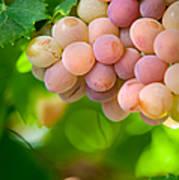 Harvest Time. Sunny Grapes Viii Print by Jenny Rainbow
