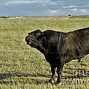 Hereford Bull Print by Mark Newman