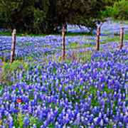 Hill Country Heaven - Texas Bluebonnets Wildflowers Landscape Fence Flowers Print by Jon Holiday