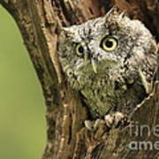 Hollow Screech- Eastern Screech Owl Print by Inspired Nature Photography Fine Art Photography