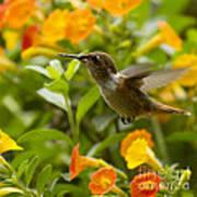 Hummingbird Looking For Food Print by Heiko Koehrer-Wagner