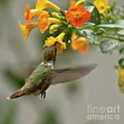 Hummingbird Sips Nectar Print by Heiko Koehrer-Wagner
