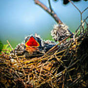 Hungry Tree Swallow Fledgling In Nest Print by Bob Orsillo