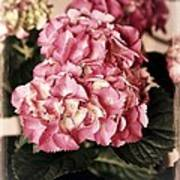 Hydrangea On The Veranda Print by Carol Groenen
