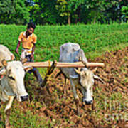Indian Farmer Plowing With Bulls Print by Image World