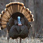 Jake Eastern Wild Turkey Print by Linda Freshwaters Arndt