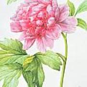 Japanese Tree Peony Print by Pierre Joseph Redoute