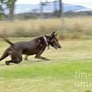 Kelpie Chasing A Ball Print by Christopher Edmunds