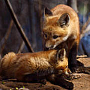 Kit Foxes Print by Thomas Young