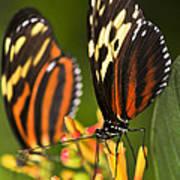 Large Tiger Butterflies Print by Elena Elisseeva