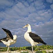 Laysan Albatross Courtship Dance Hawaii Print by Tui De Roy