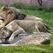 Leo And Una - Twin Male And Female Lions At The University Of North Alabama Print by Carol M Highsmith