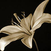 Lily Print by Sandy Keeton
