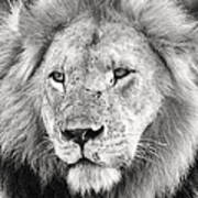 Lion King Print by Adam Romanowicz
