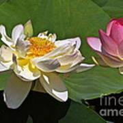 Lotus Pink -- Lotus White And Gold Print by Byron Varvarigos