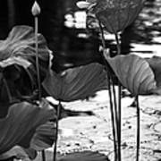 Lotuses In The Pond I. Black And White Print by Jenny Rainbow
