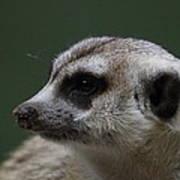 Meerket - National Zoo - 01137 Print by DC Photographer