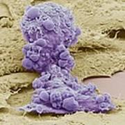 Mesenchymal Stem Cell, Sem Print by Science Photo Library
