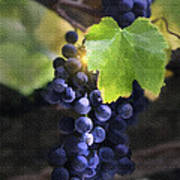 Mission Grapes II Print by Sharon Foster